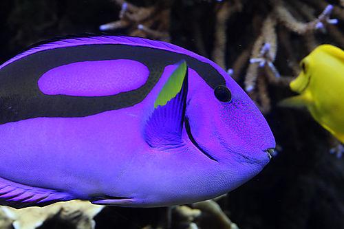 Purple fish small