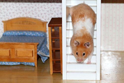 Hamster five