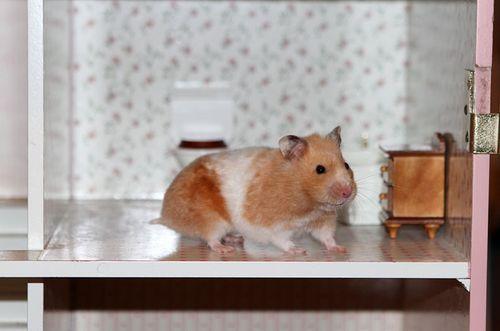 Hamster four