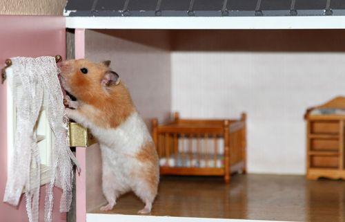 Hamster seven